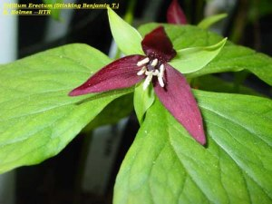 Trillium Erectum or Stinking Willie Credit: http://www.trilliumresearch.org/species2.html