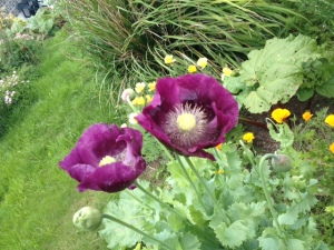 Giant Purple Poppies